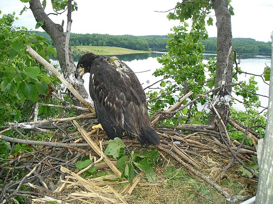 MCR Bald Eagles - Merrill Creek Reservoir