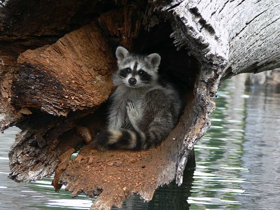 Raccoon in tree - Photo by John Pagani - Merrill Creek