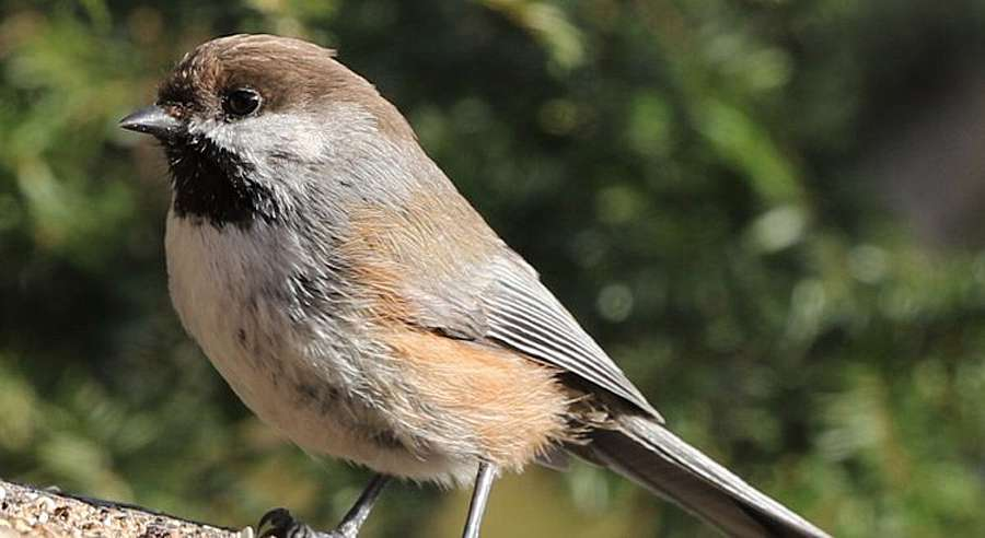 BC feeder nut - Merrill Creek - boreal chickadee