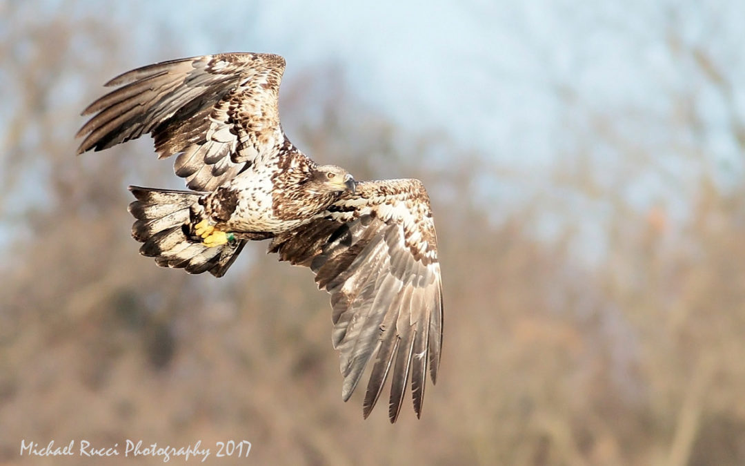 Bald eagle fledged from MCR seen in PA