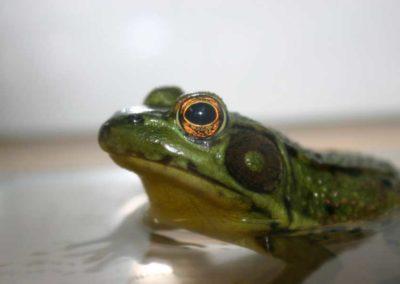 Merrill Creek Frog